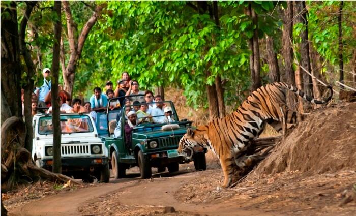 about junglewala