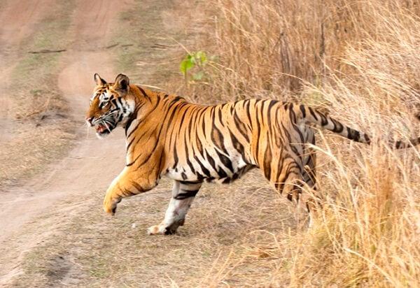 Junglewala Tiger_Bandhavgarh tiger safari