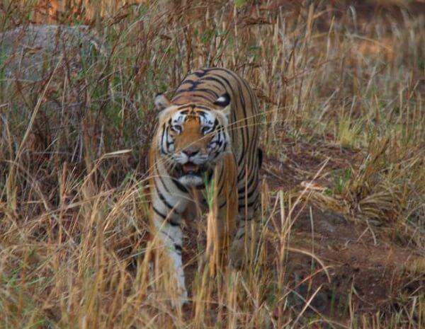 Junglewala tiger Kanha safari