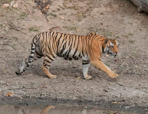 Pench junglewala tiger safari